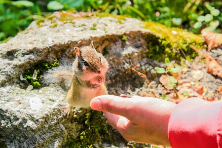 humor: Chipmunk eats with hands Stock Photo
