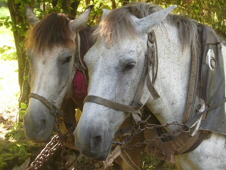 The horses on green field, close-up photo. Banque d'images