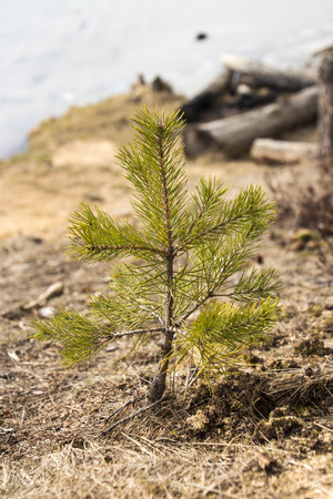 spruce: Young spruce