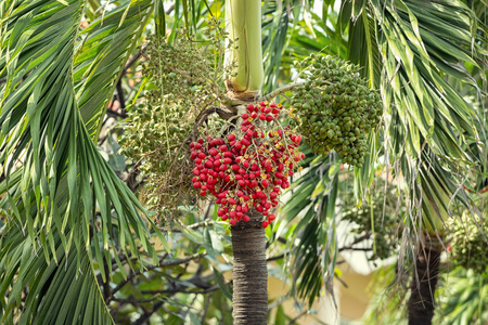 Red fruits on the palm, Vietnam Imagens