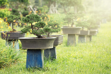 bonsai - an grown ornamental tree or shrub Standard-Bild - 122893413