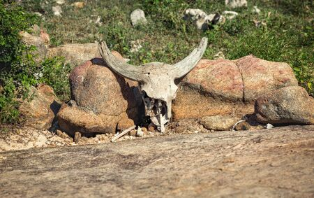Antelope skull with horns on the stones.