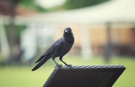 crow sitting on a deck chair Фото со стока