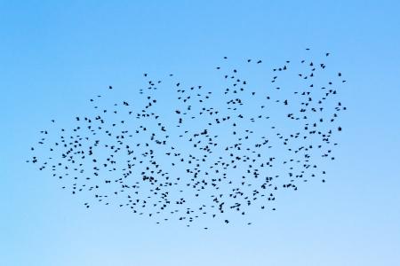 bandada pajaros: Bandada de pájaros en el cielo