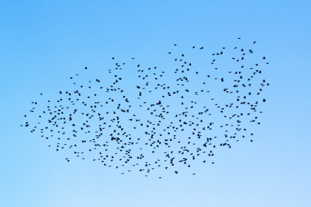 flock: Flock of birds in the sky