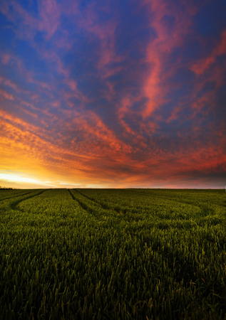 Green wheat field in sunset  photo