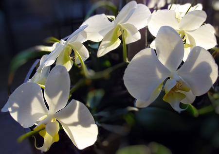 White orchid flowers in the sunlight. Stock Photo