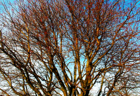 Multitude of bare tree branches seen in winter time.