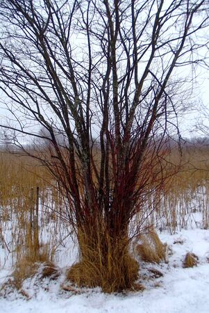 A young tree with reddish branches along the path through the reeds. Reklamní fotografie