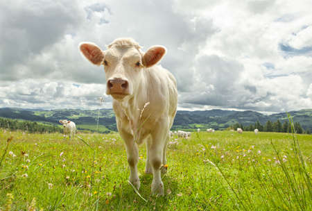 Cow in field photo