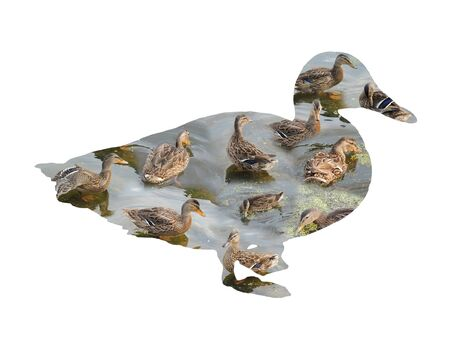 color image mallard duck: Illustration duck inside the duck on a white background collage