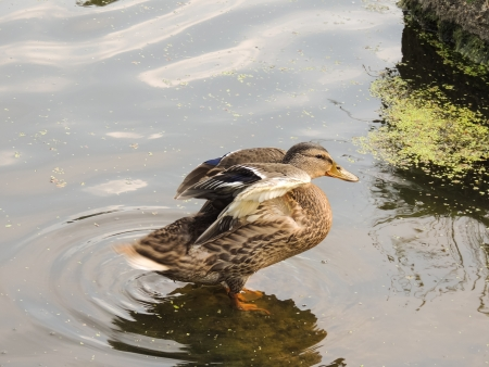color image mallard duck: Duck on the background of the reservoir Stock Photo