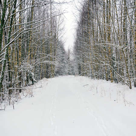 forest road in winter among the birches, on the road traces of two people