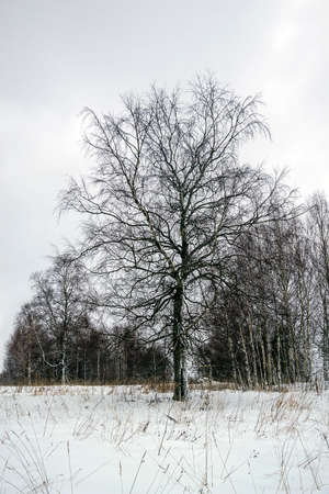 a lonely birch in the winter