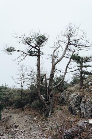 An ugly, crooked tree of strange shape lonely stands in a fog Reklamní fotografie