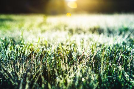 Green grass with dew drops in rain field. Nature fresh outdoor background 版權商用圖片