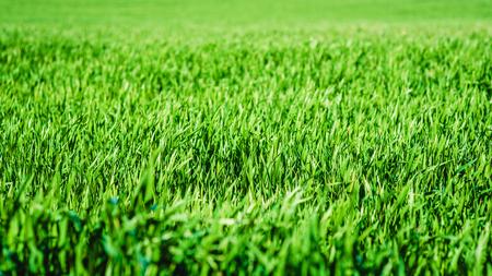 큰 분야에서 녹색 잔디 텍스처