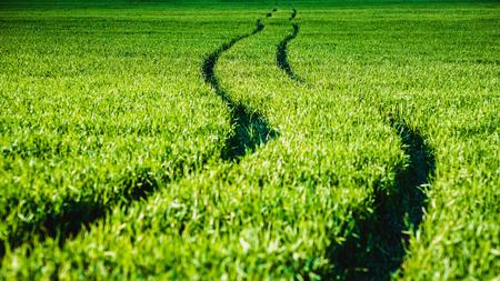밀의 그린 필드에서도. 화창한 날에 풀밭에 농업 교통의 흔적