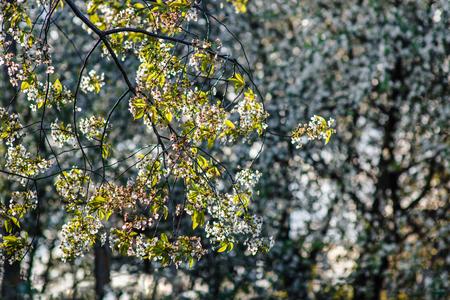 하얀 벚꽃과