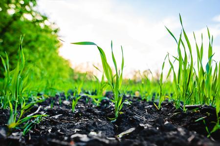 옥수수의 옥수수 밭을 싹이 트며 일반적으로 사일로에 넣고 바이오 가스의 연료로 사용
