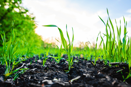 Sprouting Feld von Mais, Mais, allgemein Silage und dann als Brennstoff in Biogas verwendet Standard-Bild - 81648769