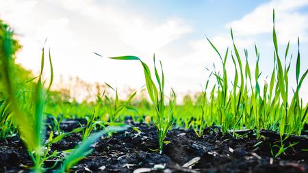 Sprouting Feld von Mais, Mais, allgemein Silage und dann als Brennstoff in Biogas verwendet Standard-Bild - 81639160