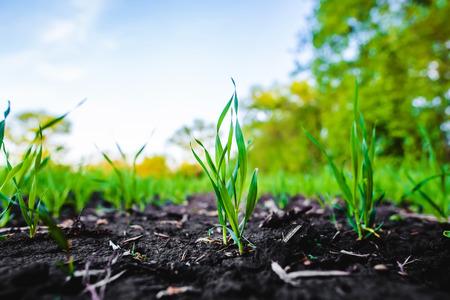 Sprouting Feld von Mais, Mais, allgemein Silage und dann als Brennstoff in Biogas verwendet Standard-Bild - 81591586