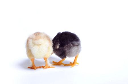 origen animal: Cerca de dos pollos recién nacidos en el fondo blanco