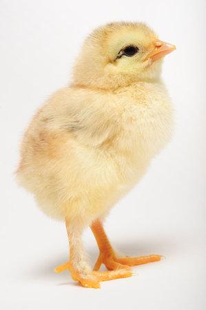 origen animal: Cierre de pollito recién nacido de pie sobre fondo blanco