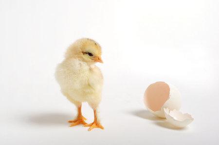 origen animal: Golden chica mirando hacia atrás en su huevo resquebrajado Foto de archivo