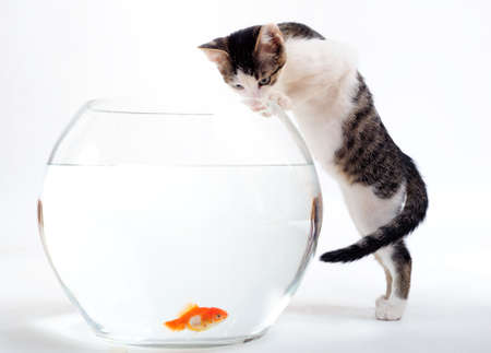 Curious kitten looking at goldfish in fishbowl Stock Photo - 3717130