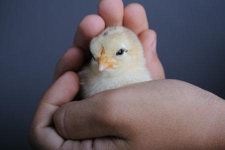 origen animal: Golden pollito recién nacido en manos de los niños, de cerca