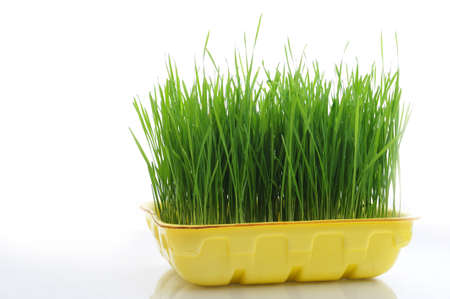 foretaste: Green grass in a yellow tray