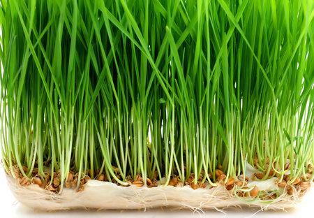 Cerca de germinación de semillas de trigo Foto de archivo - 4464531