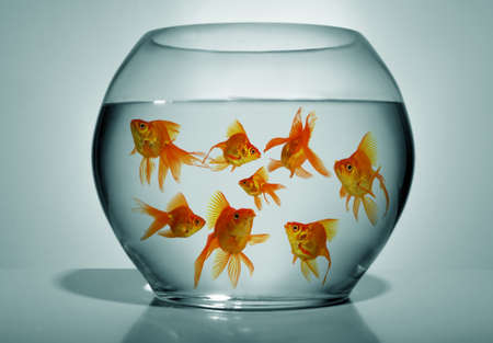 gold fish bowl: Lots of goldfish in bowl on blue background, close up