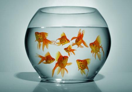 goldfishes: Un sacco di rossi in ciotola su sfondo blu, vicino Archivio Fotografico