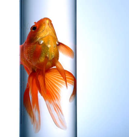 immobility: Goldfish swimming in a test tube on blue background