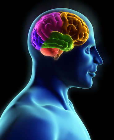 cerebra: Human body and brain, x-ray look - 3d render Stock Photo