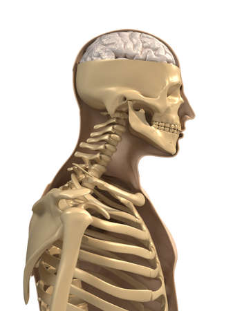 half body: Human body, skeleton and brain - 3d render  Stock Photo