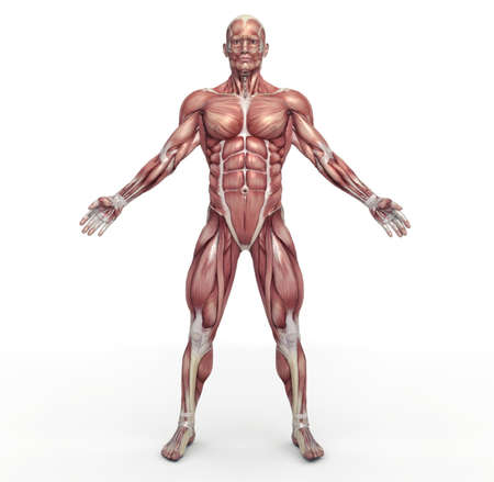 Male muscular system. This is a 3d render illustration 스톡 콘텐츠