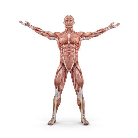 근육 시스템의 전면보기입니다. 이 그림은 3d 렌더링 스톡 콘텐츠
