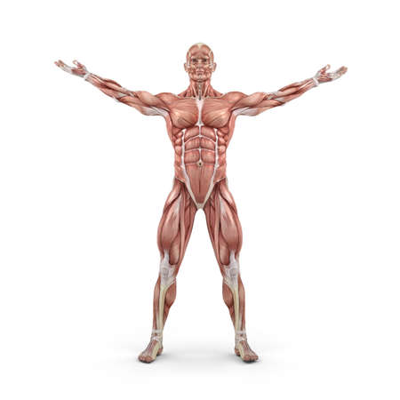 Front view of the muscular system.  This is a 3d render illustration Stock Photo