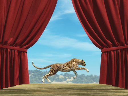Opened red curtain shows cheetah running in the open field.