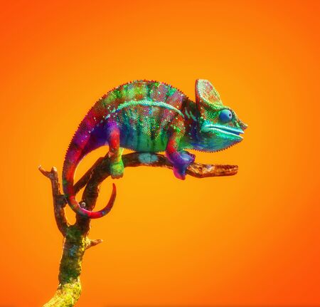 Colorful chameleon on a branch isolated on orange background. This is a 3d render illustration .