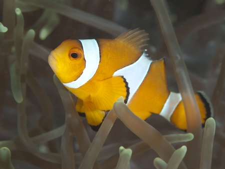 amphiprion ocellaris: False crown anemonefish Stock Photo