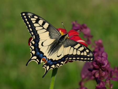 Butterfly Old World Swallowtail