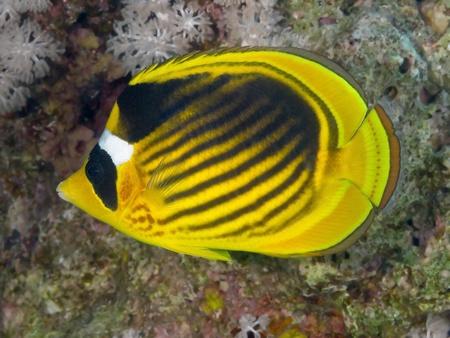 butterflyfish: Diagonal-lined butterflyfish