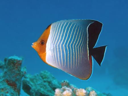 Hooded butterflyfish