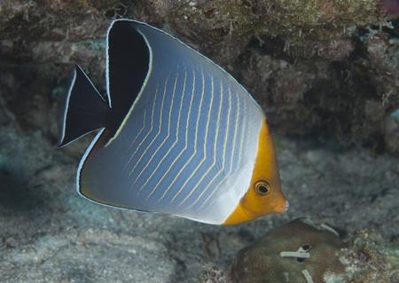 butterflyfish: Hooded butterflyfish