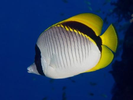 butterflyfish: Lined butterflyfish